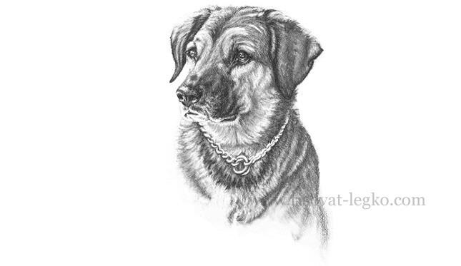 01.Рисуем портрет собаки карандашом в пять этапов