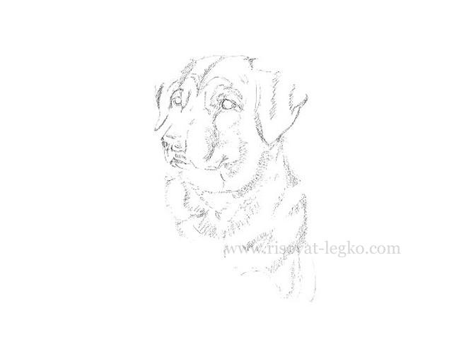 03.Рисуем портрет собаки карандашом в пять этапов