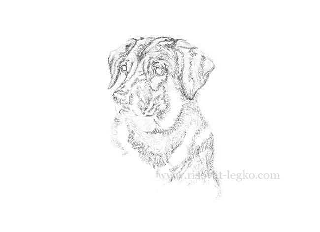 04.Рисуем портрет собаки карандашом в пять этапов