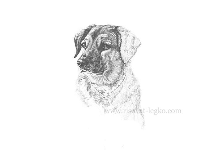 05.Рисуем портрет собаки карандашом в пять этапов