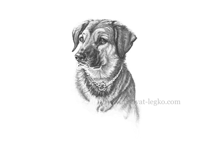 06.Рисуем портрет собаки карандашом в пять этапов