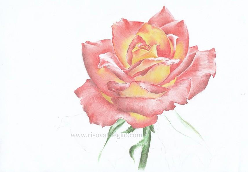 08.Как нарисовать розу поэтапно цветными карандашами