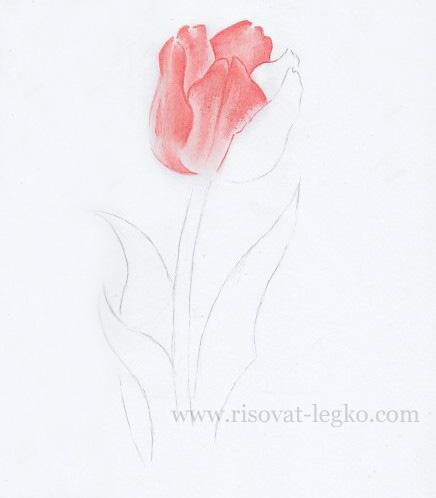 04.Как нарисовать тюльпан карандашом поэтапно