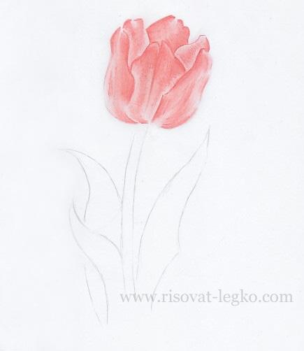 05.Как нарисовать тюльпан карандашом поэтапно