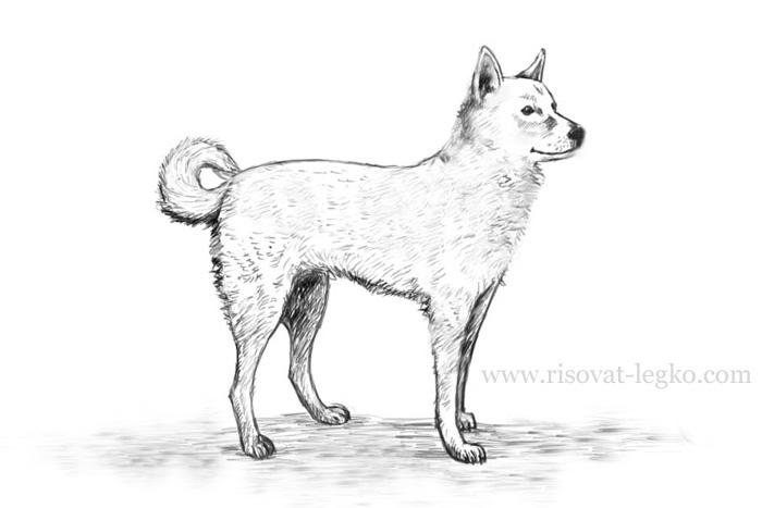 01.Как нарисовать собаку поэтапно карандашом