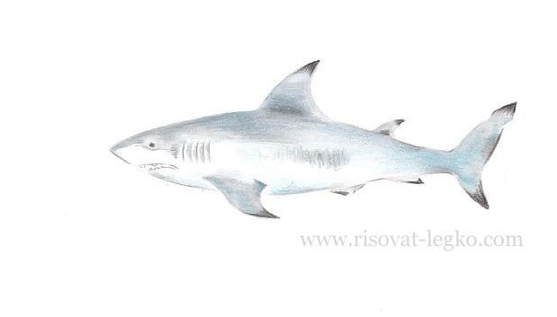 07.Как нарисовать акулу поэтапно карандашом