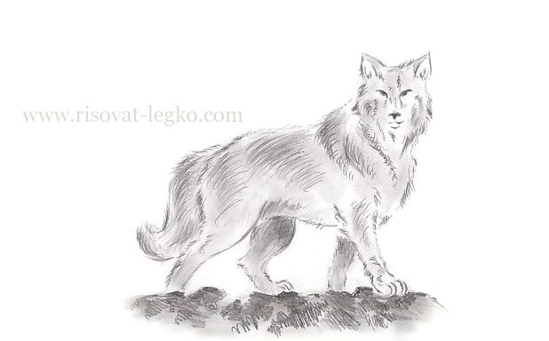 01.Как нарисовать волка поэтапно карандашом