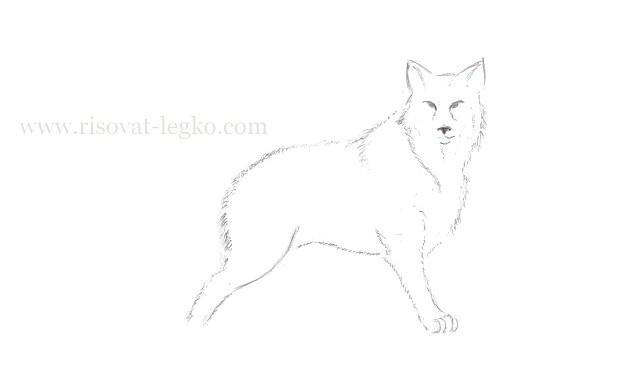 06.Как нарисовать волка поэтапно карандашом