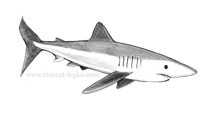 01.Как нарисовать акулу карандашом поэтапно