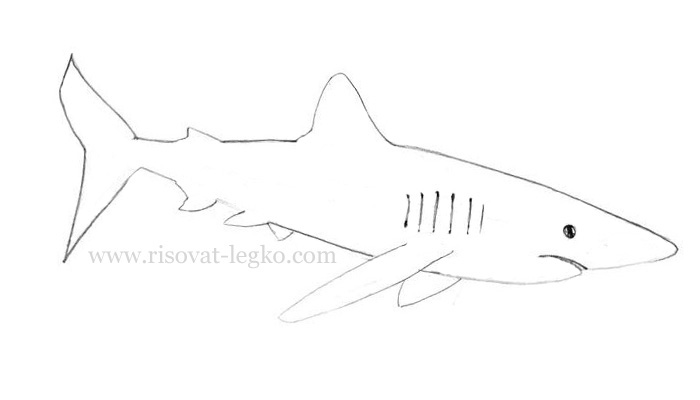 05.Как нарисовать акулу карандашом поэтапно